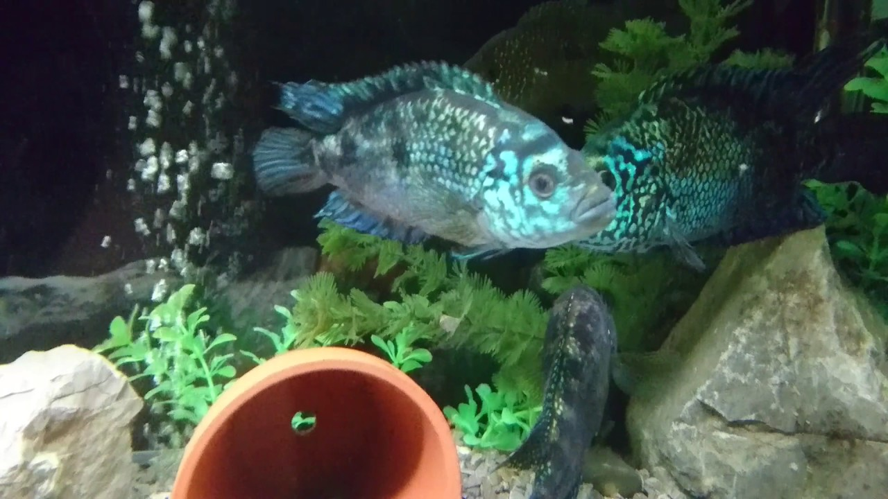What Is Kind Of Tropical Aquarium Fish Considered Too Aggressive For A Community Tank?